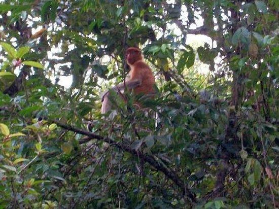 Borneo Nature Lodge: Proboscis monkey!
