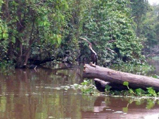 Borneo Nature Lodge: Oriental Datta
