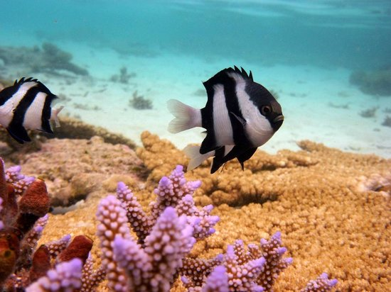 Vilamendhoo Island Resort & Spa: Damsel fish