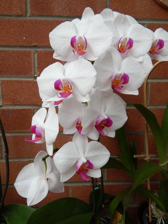 svensk lejon orchide thaimassage