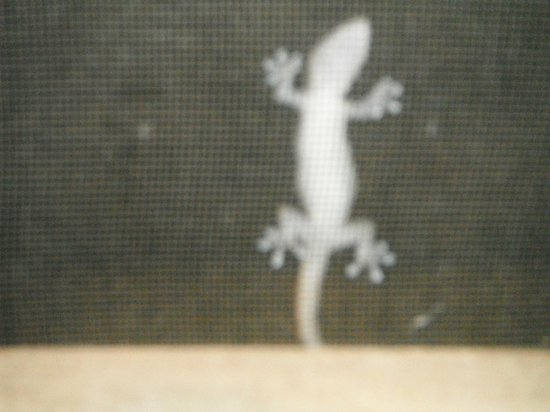 Hotel Chillies: My Little chirping gecko