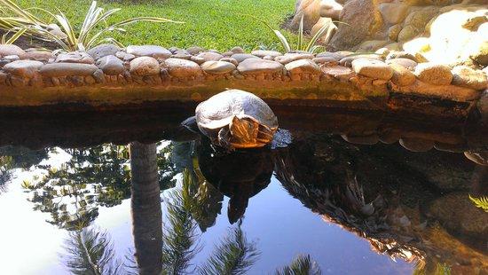 Hotel Banana Azul: turtle in the restaurant yard