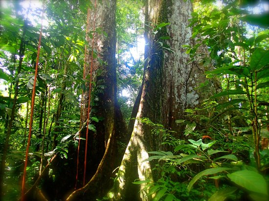 Tree climbing tour in the primary rainforest at Selva Bananito Lodge