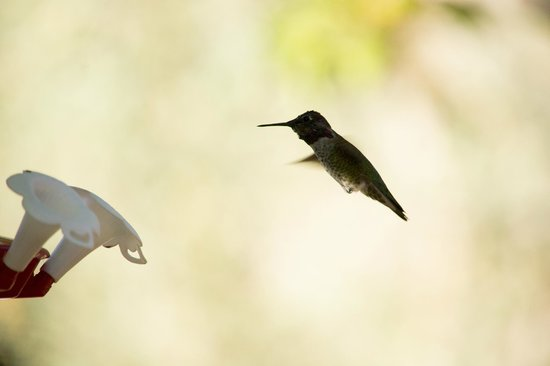 Yosemite Bed and Breakfast : Hummingbirds in grounds