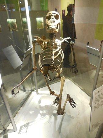 Neanderthal Museum : Skeletal Composite