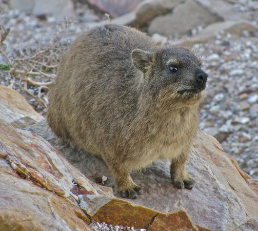 The Point Hotel & Spa: hyrax are all over the rocks