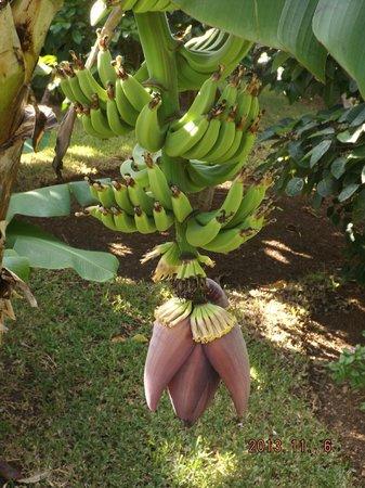 Royal Palms Hotel : Banana tree