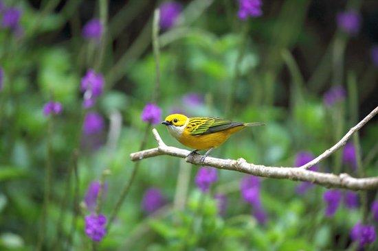 Bosque de Paz: Silver-throated Tanager