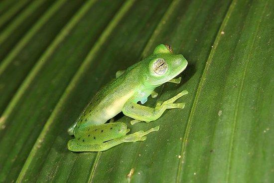 Bosque de Paz: Glass Frog