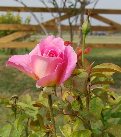 South Texas Botanical Gardens & Nature Center: A lovely rose