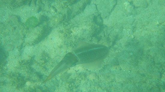 Grand Palladium Lady Hamilton Resort & Spa: a squid we saw hanging around