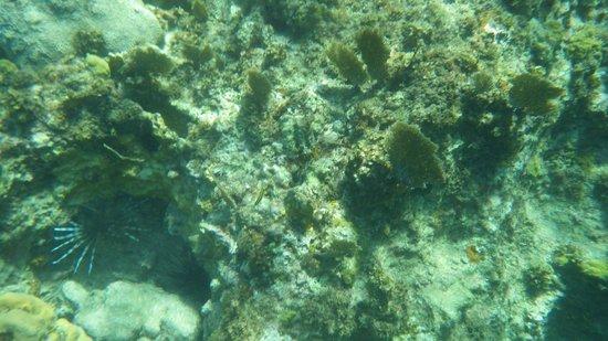 Grand Palladium Lady Hamilton Resort & Spa: lionfish and spiny urchin