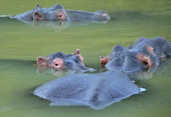 Saint Lucia Estuary: hippos