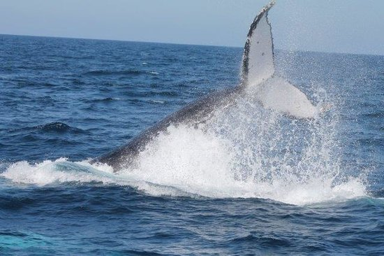 Whales in Paradise - Gold Coast Whale Watching Pty Ltd: whale watch Gold Coast 2