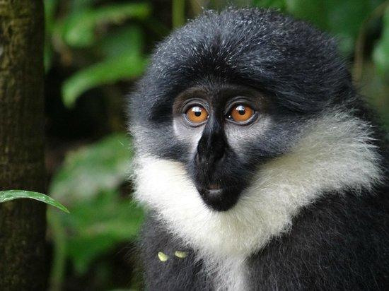 Travel Explore Africa - Day Tours : Blue Monkey near Bwindi