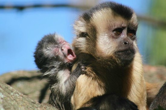Monkey Town Primate Centre: Brown Capuchin with her baby