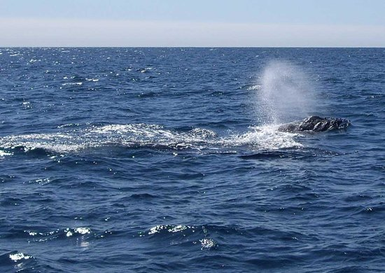Whales in Paradise - Gold Coast Whale Watching Pty Ltd: A little blow!