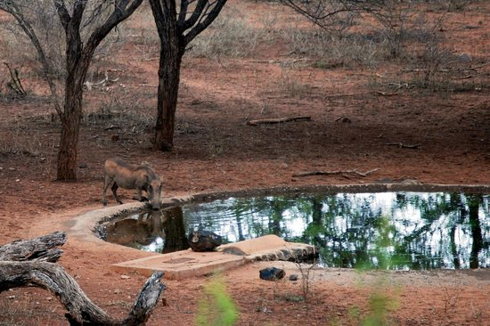 Khaya Ndlovu Manor House: Drinking at the water hole