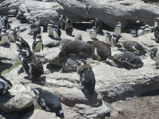 Stony Point Penguin Colony: well looked after penguins
