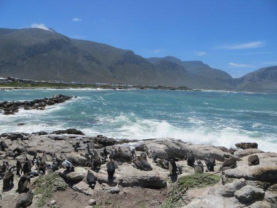 Stony Point Penguin Colony: windy but bracing