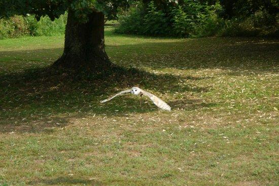 Les Faucons Elusates: Barn Owl