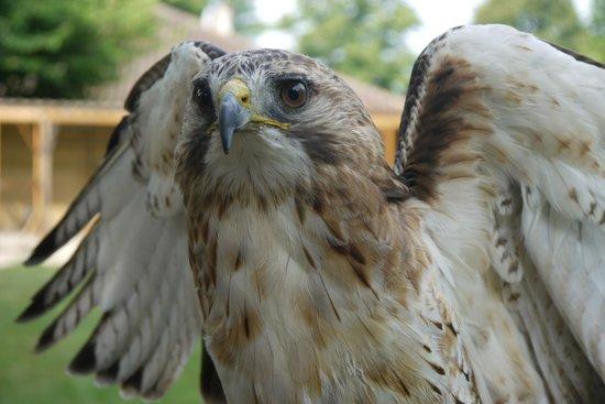 Les Faucons Elusates: Bird of prey