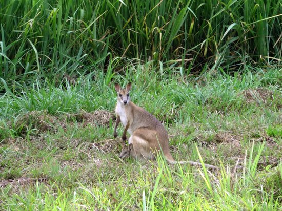 Bloomfield Lodge: Wallaby in der Nähe des Airstrips
