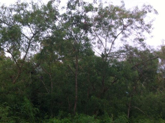 De Palma Hotel Kuala Selangor: The forest outside the fence where monkeys are seen in the evening