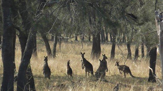 Hunter Valley Resort: Kangaroos from our Bedroom Window