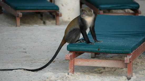 Pinewood Beach Resort & Spa: Monkey raid at dawn
