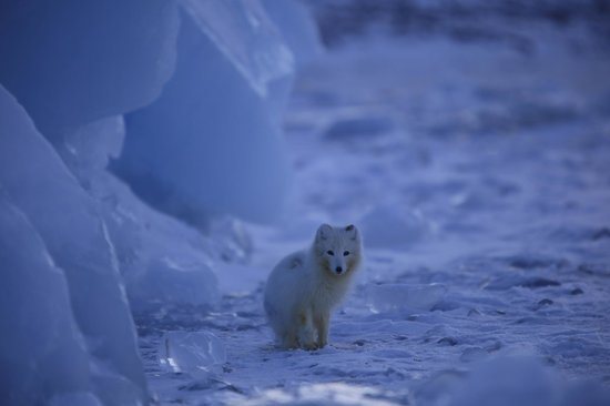 Longyearbyen, Norge: Arcticfox on the oceanice.