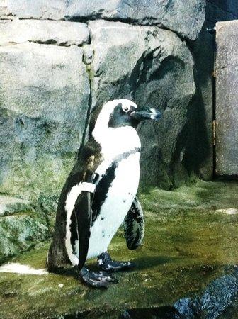 Mr Penguin at Monterey Bay Aquarium, August 2013.