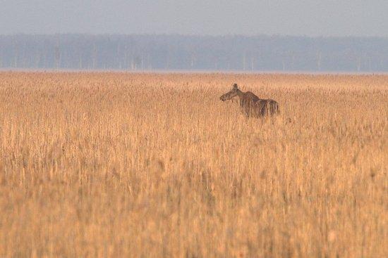 Dwor Dobarz: Elk in the Lawki swamp