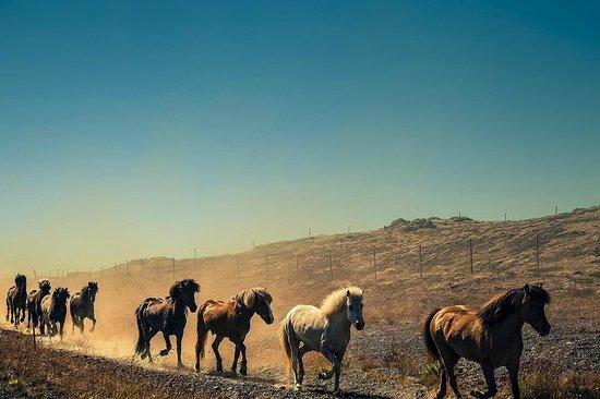 Hella, Iceland: The herd