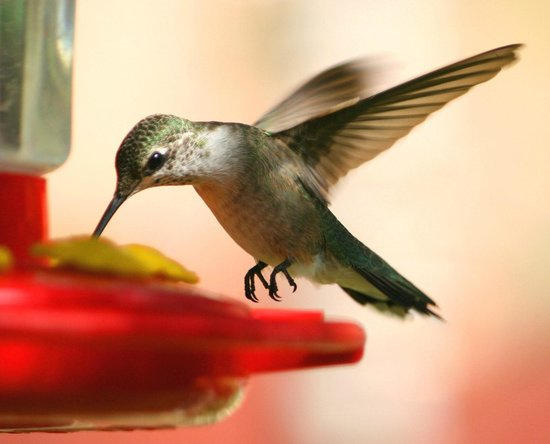 Harvest House Bed and Breakfast : Hummingbird in the garden