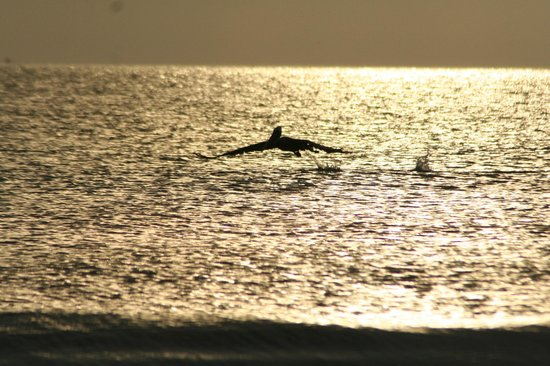 Barefoot Beach Hotel : Dolphins playing at sunset