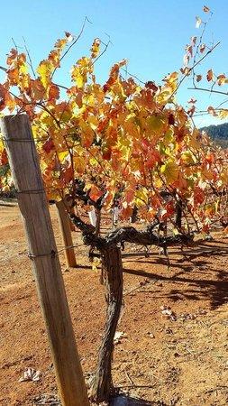 Bella Vineyards and Wine Caves: Vineyards