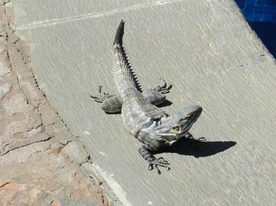 Tropicana Inn: poolside: a visiting iguana!