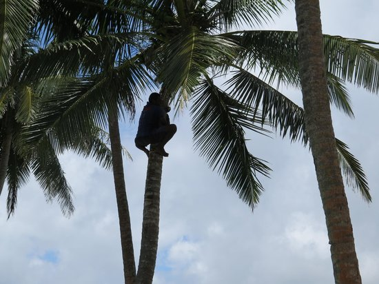 Royal Davui Island Resort: Staff climbing a tree to get coconuts