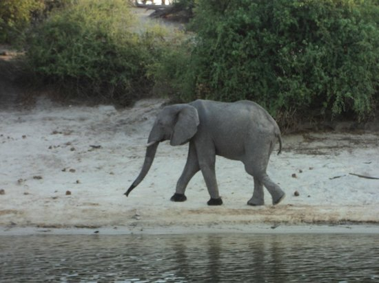 Chobe Game Lodge : Lone elephant on River Chobe shore - spotted on the river cruise