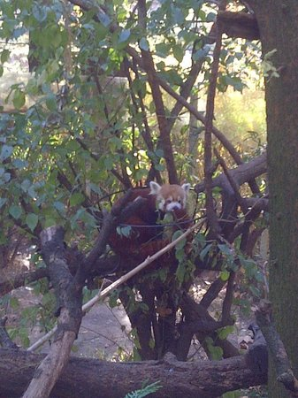 Central Park Zoo : Red Panda