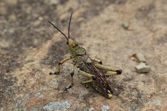 Cavern Drakensberg Resort & Spa: Exotic grass hopper?