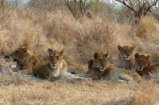 Skukuza Rest Camp: Lionnes bien repues à moins de 4 m de notre voiture