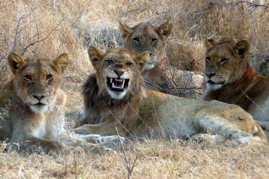 """Skukuza Rest Camp: jeune lion déjà entouré de son harem qu""""il entend défendre!"""