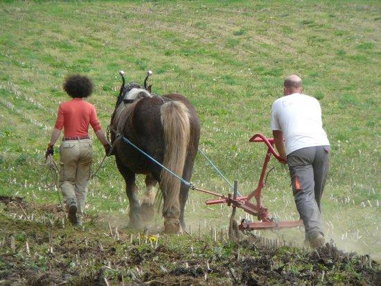 Le Saint, France : Traction animale dans le potager