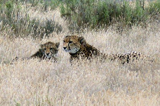 Lower Sabie Restcamp : Jeune guépard et sa mère