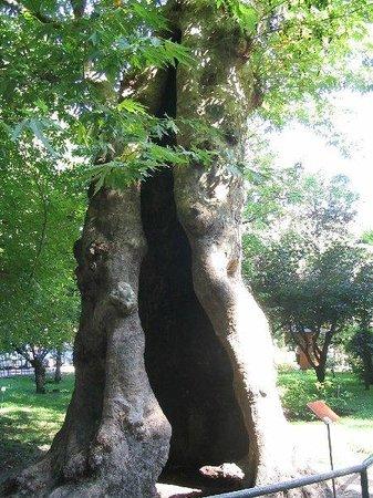 Orto Botanico di Padova: Pianta antichissima