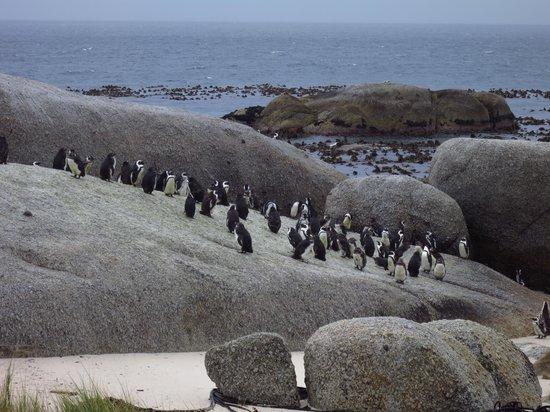Baz Bus - Day Tours: Penguin at Boulders Beach