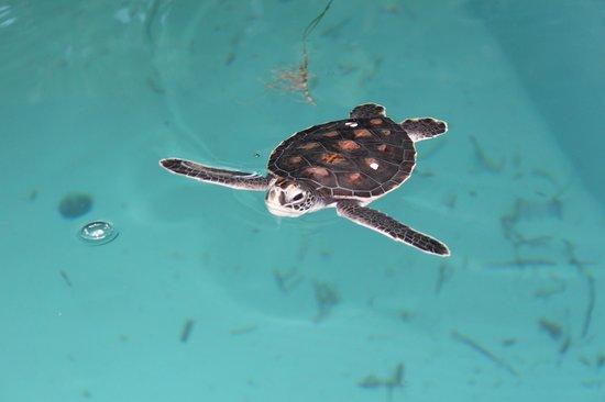 فور سيزونز ريزورت المالديف في كودا هورا: baby sea turtle at marine centre