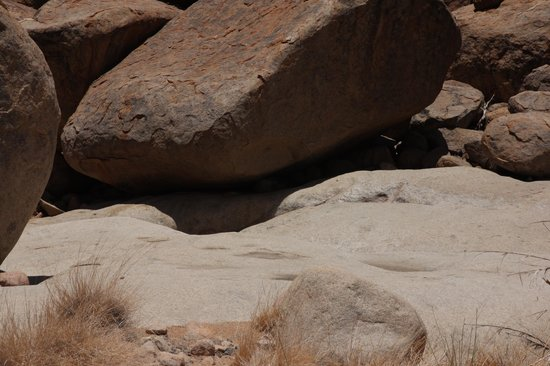 White Lady : Hehe. Not the best picture of an elephant shrew, but it's there underneath the big rock.